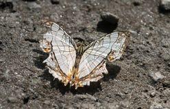 一只Kumaon/共同的地图蝴蝶在沙子 免版税库存图片