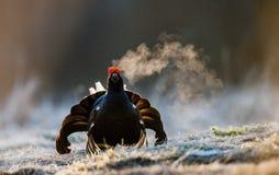 一只lekking的黑松鸡(北欧产雷鸟类tetrix)的画象与蒸汽呼吸 库存照片