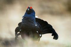 一只lekking的黑松鸡(北欧产雷鸟类tetrix)的画象 图库摄影