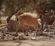 一只Nubian高地山羊的特写镜头在Ein Gedi,以色列 免版税图库摄影