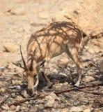 一只Nubian高地山羊的特写镜头在Ein Gedi绿洲的 库存照片