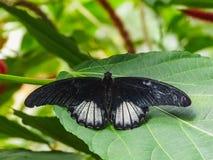 一只papilio memnon蝴蝶的特写镜头在叶子的 免版税库存图片