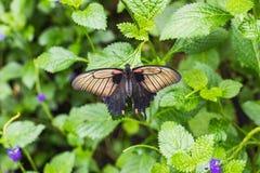 一只papilio memnon蝴蝶的特写镜头在叶子的 库存照片