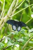 一只papilio memnon蝴蝶的特写镜头在叶子的 库存图片
