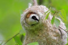 一只Penduline山雀鸟的特写镜头在巢的在春天嵌套期间 库存图片