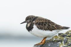 一只Rubby翻石鹬鹅不食属interpres涉水鸟的特写镜头a的 免版税图库摄影