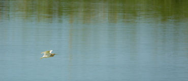 一只Squacco苍鹭在飞行中在盐水湖 库存照片
