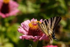 一只Swallowtail Papilionidae蝴蝶的宏指令在百日菊属elegans的开花反对被弄脏的自然本底在一个明亮的夏日 库存照片