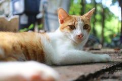 一可爱棕色猫说谎室外 库存照片