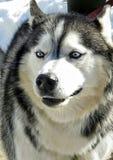 一名大蓝眼睛的西伯利亚爱斯基摩人 库存图片