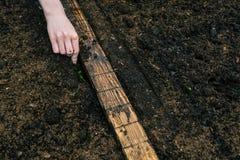 一名妇女的手手套措施的种植的年幼植物距离到土壤里 在花匠a的手上 免版税库存照片