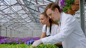 一名年轻人和妇女白色外套的和黑人围裙、科学家、生物学家或者农艺师审查并且分析花 股票录像