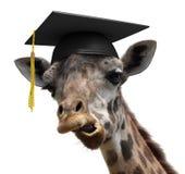 一名愚蠢的长颈鹿大学毕业生学生的异常的动物画象 库存照片