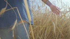 一名无忧无虑的妇女的手接触黄色麦子耳朵的牛仔裤衣裳的站立在麦田特写镜头 ?? 股票视频