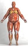 一名肥胖妇女的解剖学 库存图片