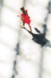 一名走的妇女的剪影红色礼服的 免版税库存照片