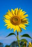 一向日葵顶头生长的特写镜头在领域 免版税库存照片