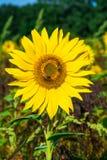 一向日葵顶头生长的特写镜头在领域 库存照片