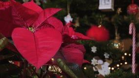 一品红圣诞节在被点燃的圣诞树前进展有顶面明亮的红色瓣的植物 影视素材