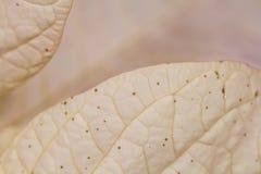 一品红大戟属Pulcherrima -有花的美丽的植物 库存照片