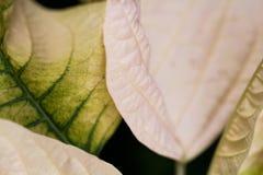 一品红大戟属Pulcherrima -有花的美丽的植物 库存图片