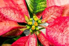 一品红大戟属Pulcherrima -有花的美丽的植物 图库摄影