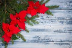 一品红开花与在木背景的圣诞节树分支 免版税库存图片