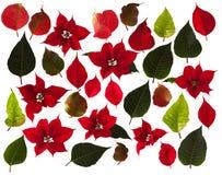 一品红开花和叶子在白色背景 免版税库存照片