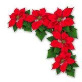 一品红开花圣诞节装饰 免版税图库摄影
