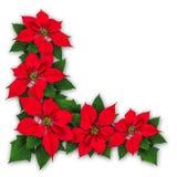 一品红开花圣诞节装饰 库存图片