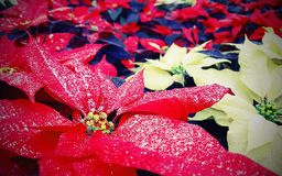 一品红植物叶子也告诉了与glit的Christmas Stars 免版税库存图片