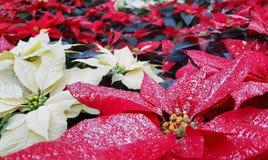 一品红植物叶子也告诉了Christmas Star 免版税库存照片