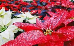 一品红植物叶子也告诉了Christmas Stars 库存照片