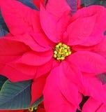 一品红植物红色叶子  免版税库存照片