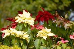 一品红植物 库存图片