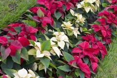 一品红植物 免版税图库摄影