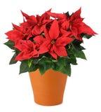 一品红植物 免版税库存照片