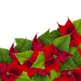 从一品红的圣诞节框架开花在白色的biur 免版税库存照片
