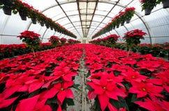 一品红的温室耕种 免版税库存图片