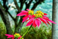 一品红花在Mesa de los桑托斯,哥伦比亚 免版税库存照片