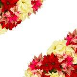 一品红花或圣诞节星 免版税库存照片