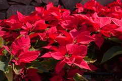 一品红花植物看法  免版税库存照片