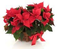 一品红花的布置 图库摄影