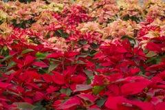 一品红花自装饰的墨西哥温室在圣诞节 图库摄影