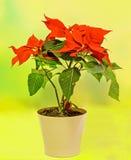 一品红(大戟属pulcherrima)与红色和绿色叶子,在花盆,花瓶的圣诞节花卉展示 免版税库存图片