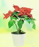 一品红(大戟属pulcherrima)与红色和绿色叶子,在花盆,花瓶的圣诞节花卉展示 库存照片