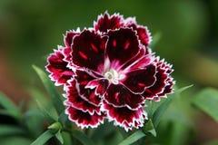 一唯一石竹` Mendlesham风骚女子`闻了高山桃红色褐红的花 免版税库存照片