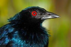 一喇叭manucode的头与呈虹彩稍带黑的被上光的蓝色闪烁全身羽毛的和一只红色眼睛使i现虹彩 免版税库存图片