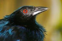 一喇叭manucode的头与闪烁全身羽毛的和一只红色眼睛在模糊的黄绿背景前面的外形视图使现虹彩 库存图片