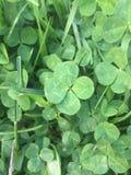 一四片叶子三叶草在三叶草补丁绿色草坪 免版税图库摄影